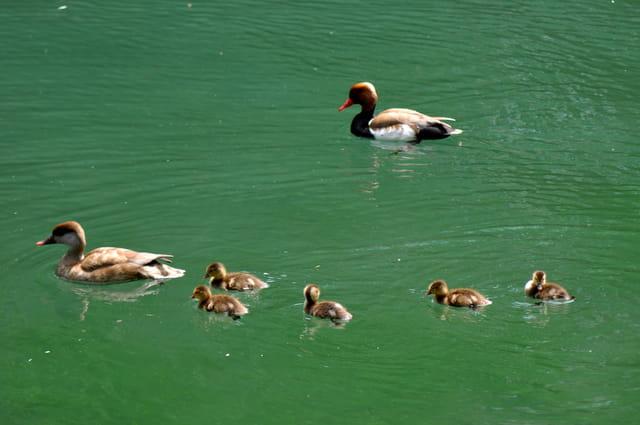 Famille Nette rousse