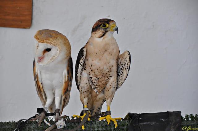 Faucon Pelerin & Chouette  Effraie