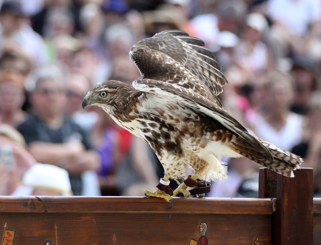 Fauconnerie : un aigle