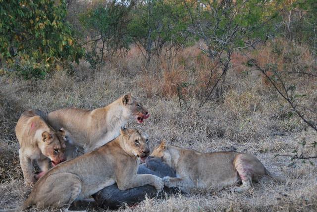 Festin de lionnes