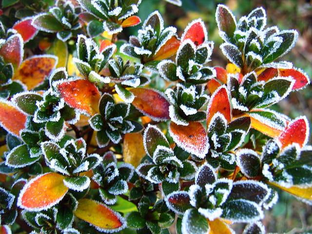 Feuillage d'azalée un matin de décembre