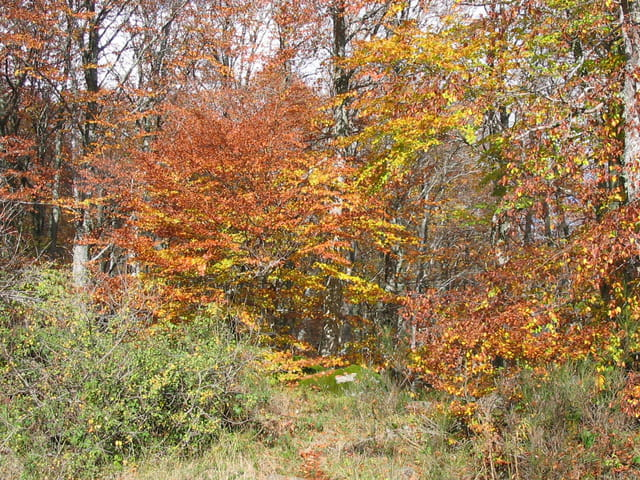 Feuillages de hêtres en automne