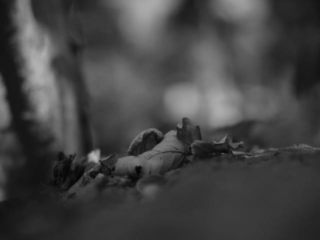 Feuille de chêne
