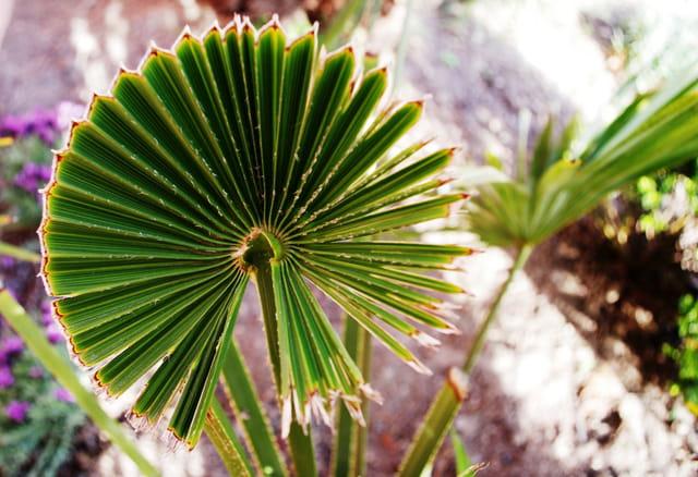 Feuille de palmier par alain labescat sur l 39 internaute - Palmier hawaien feuilles jaunes ...