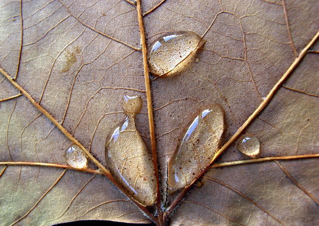 Feuille de platane après l'averse