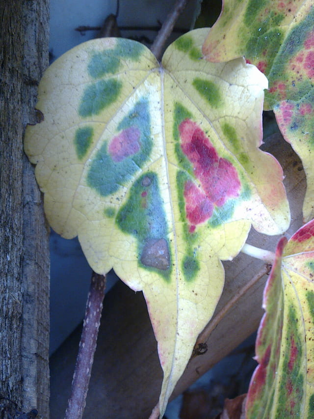 Feuille de vigne vierge multicolore