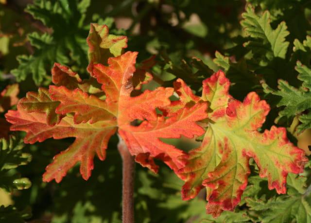 Feuilles de g ranium par jeanine dubois sur l 39 internaute - Geranium feuilles qui jaunissent ...