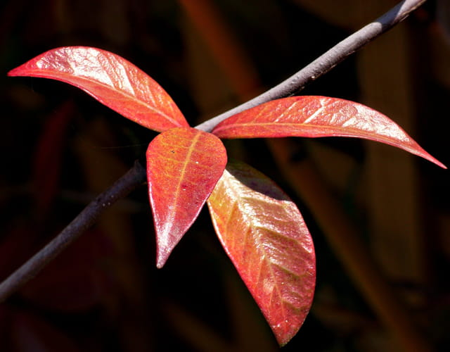 Feuilles de jasmin en automne
