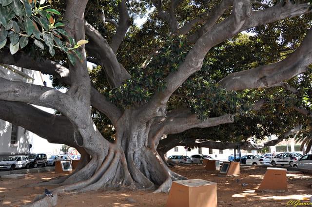 Ficus géant