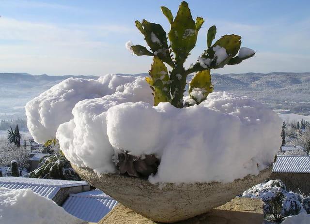 Figues de barbarie sous la neige
