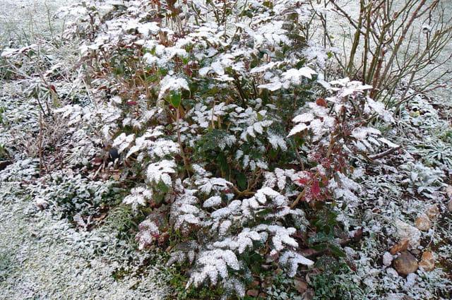 Fine neige sur le mahonia aquifolium