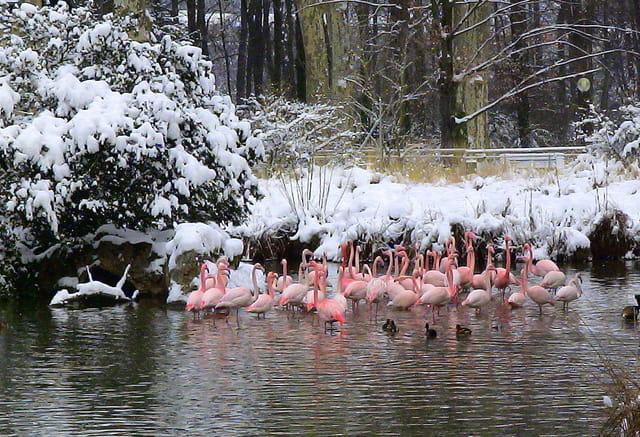 Flamants dans la neige