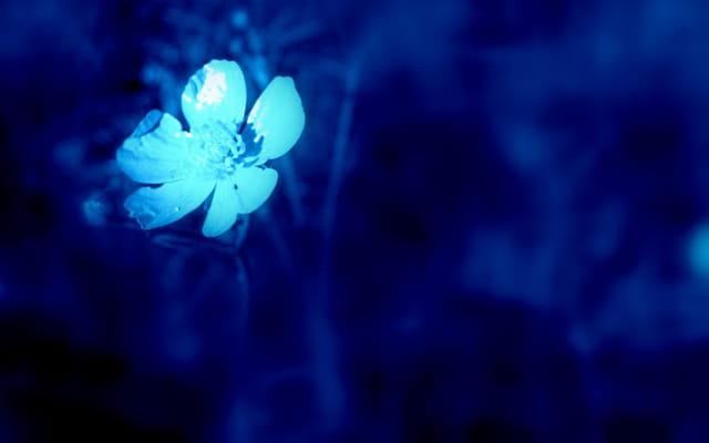 Fleur bleue................