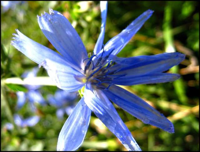 fleur bleue des champs par francine ancel sur l 39 internaute. Black Bedroom Furniture Sets. Home Design Ideas