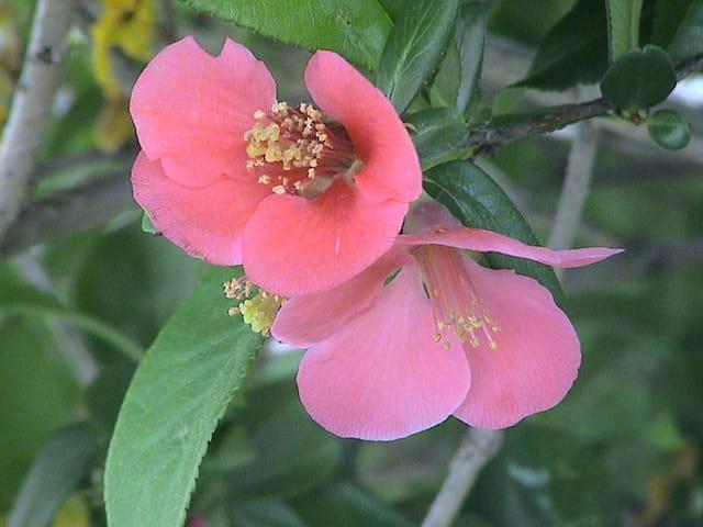 Fleur ce cognacier du japon