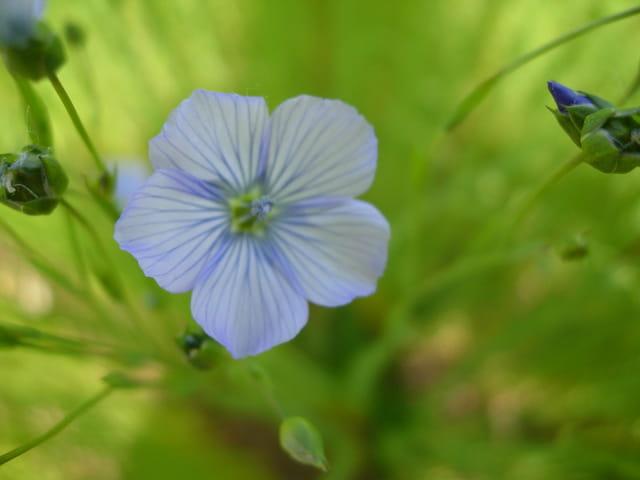 Fleur couleur ciel