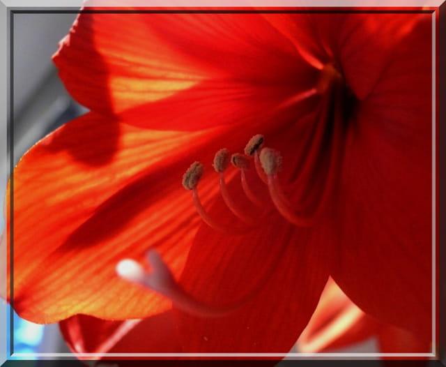 Fleur d'amaryllis