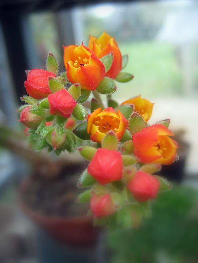 Fleur d'echeveria