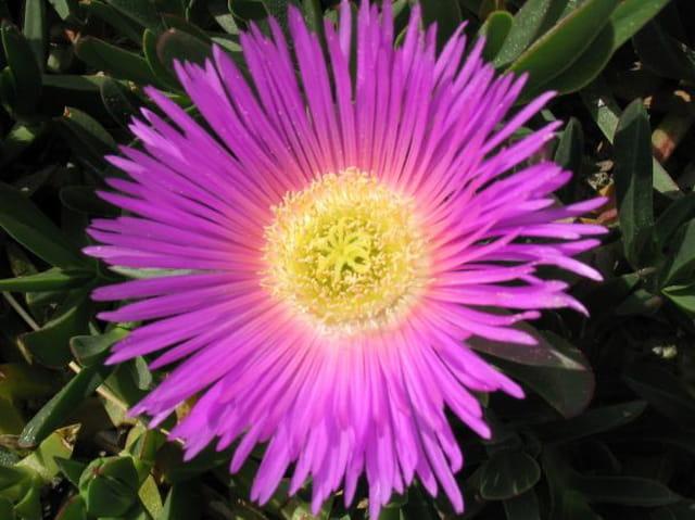 Fleur d'hammamet
