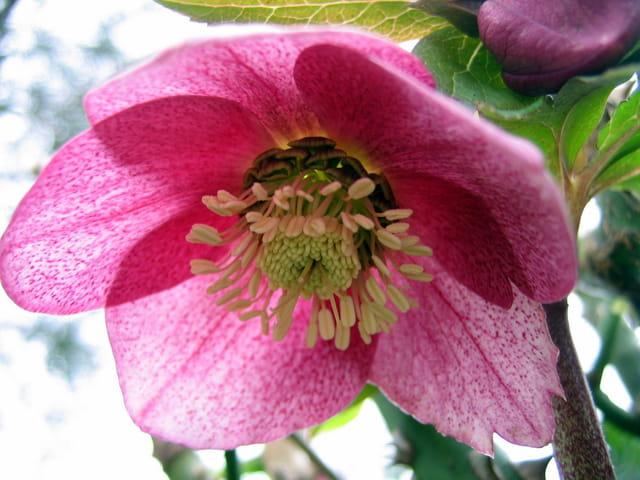 Fleur d'hellébore vue du dessous