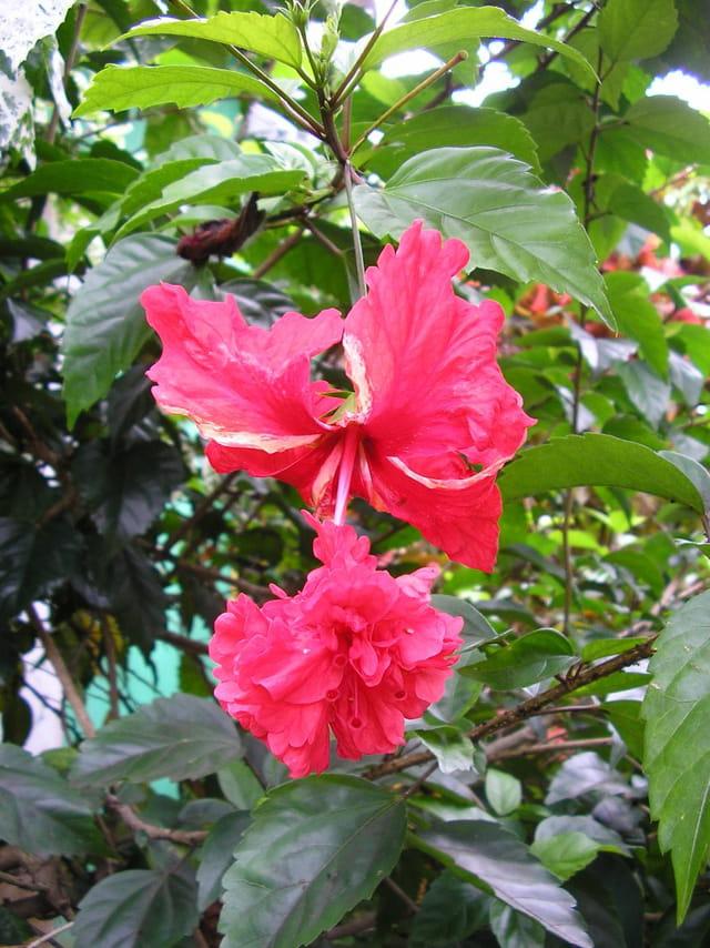 fleur d 39 hibiscus par daniel vernhet sur l 39 internaute. Black Bedroom Furniture Sets. Home Design Ideas