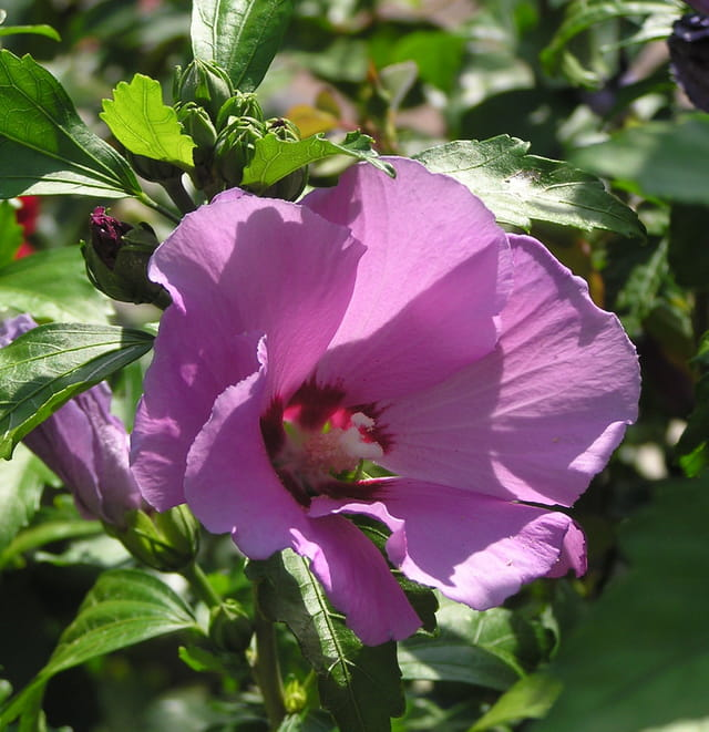 Fleur d'hibiscus 3