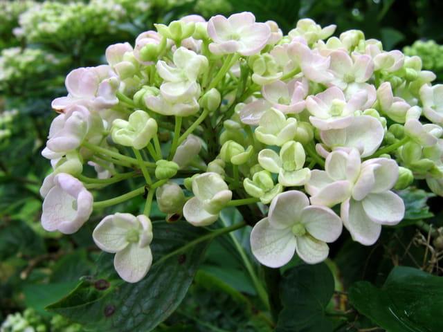 Fleur d'hortensia ayesha