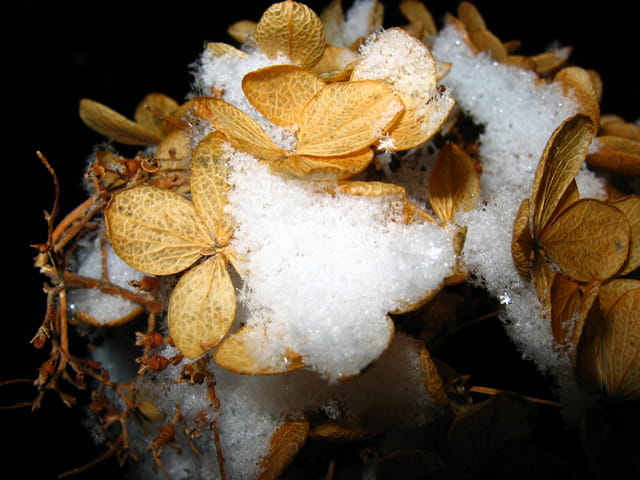 Fleur d`hydranger