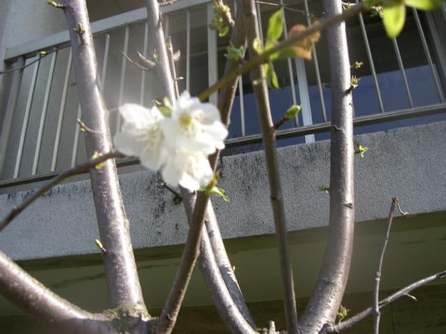 Fleur d'un bébé cerisier