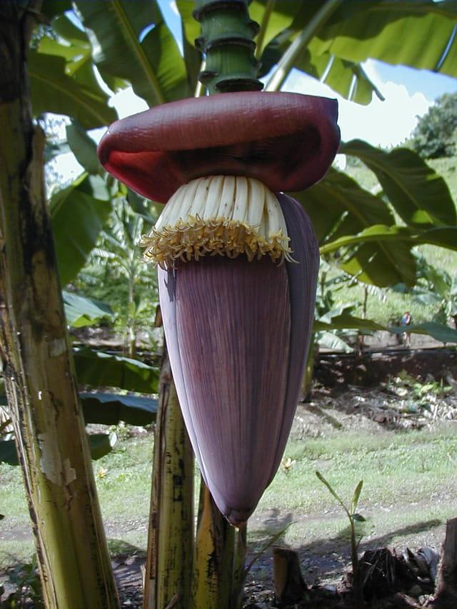 Fleur de banane