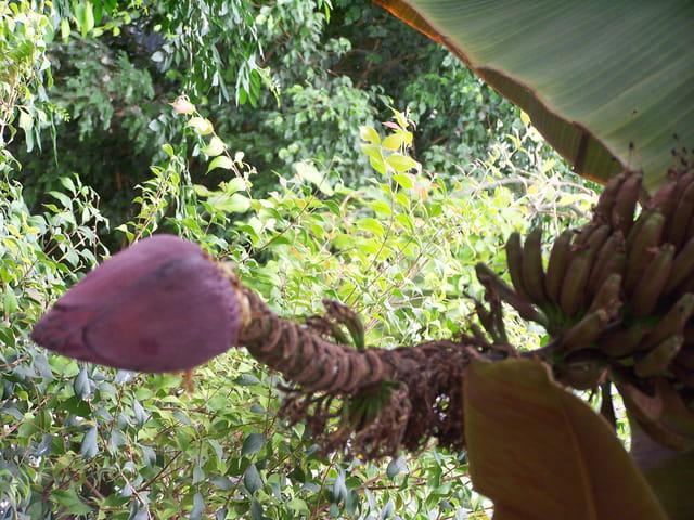 Fleur de bananier