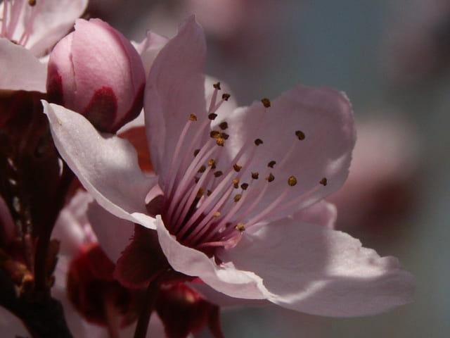 Fleur de brugnon