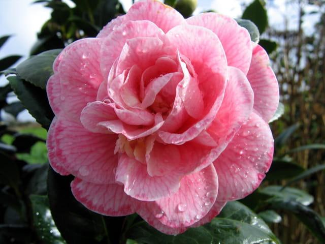 Fleur de camélia après la pluie