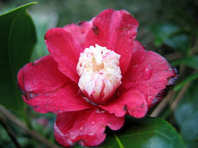Fleur de camélia après la tempête