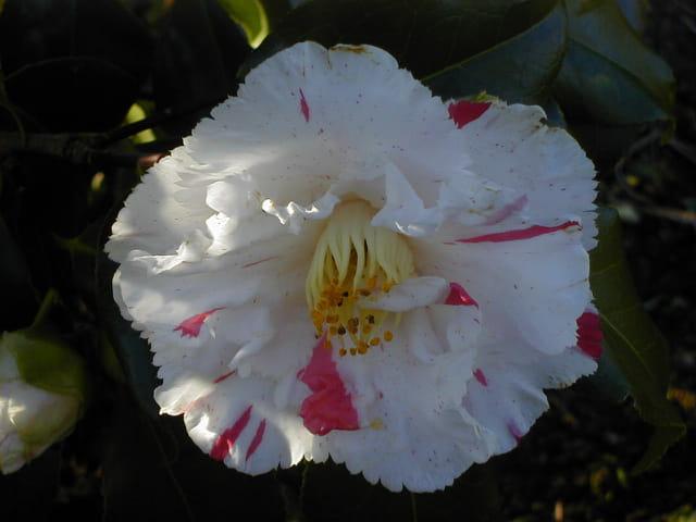 Fleur de camélia dainty California