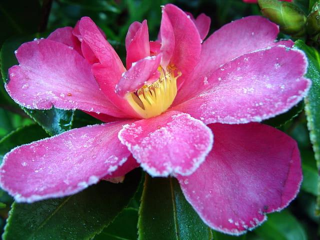 Fleur de camélia délicatement givrée