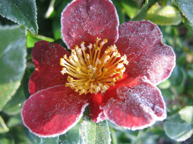 Fleur de camélia givrée