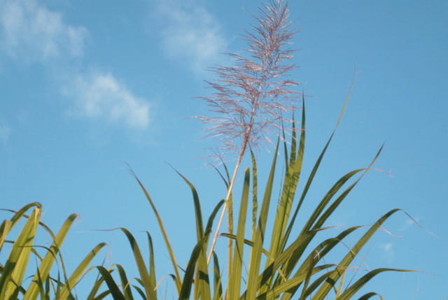 Fleur de canne à sucre