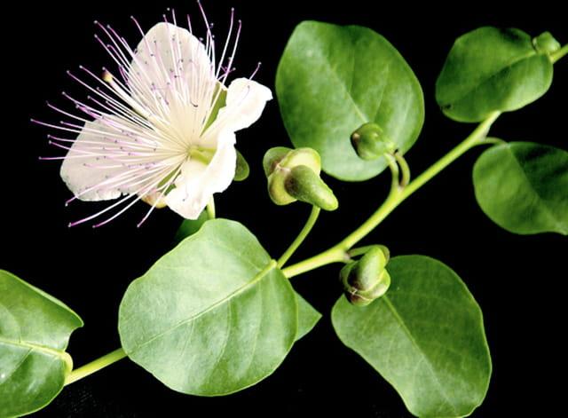 Fleur de câprier et câpres