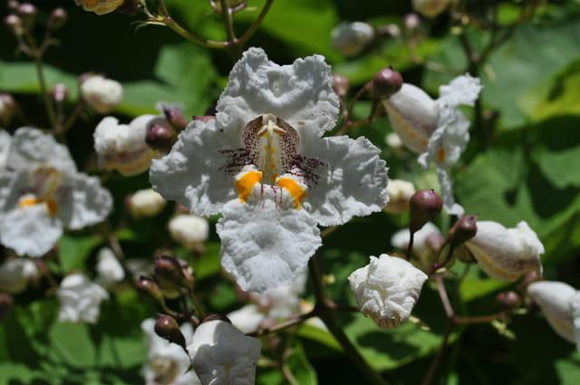 Fleur de Catalpa