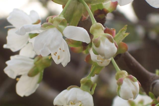 fleur de cerisier par catherine thary sur l 39 internaute. Black Bedroom Furniture Sets. Home Design Ideas