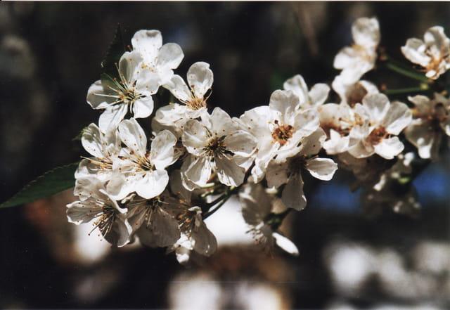 fleur de cerisier par luc rocheux sur l 39 internaute. Black Bedroom Furniture Sets. Home Design Ideas