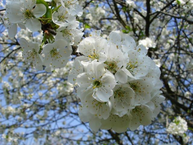 fleur de cerisier par agnes serpollet sur l 39 internaute. Black Bedroom Furniture Sets. Home Design Ideas