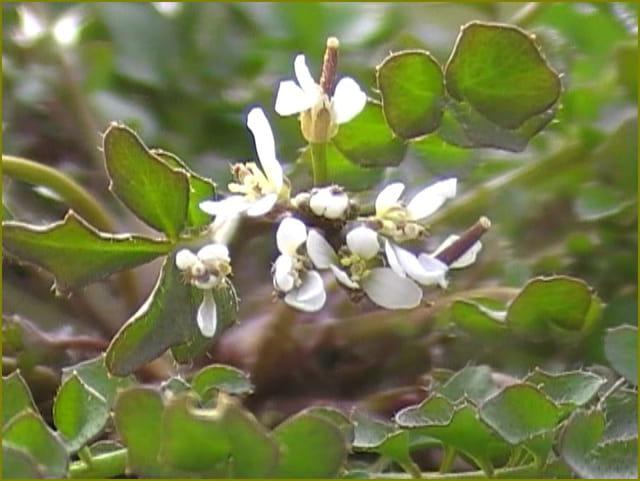 Fleur de cresson