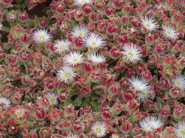 Fleur de désert