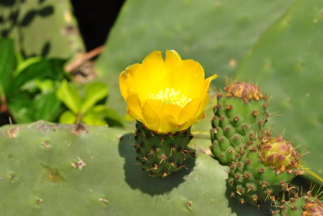 Fleur de figue de barbarie