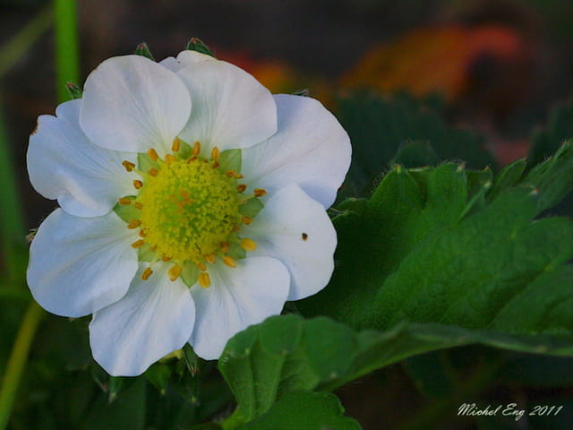 Fleur de fraisier