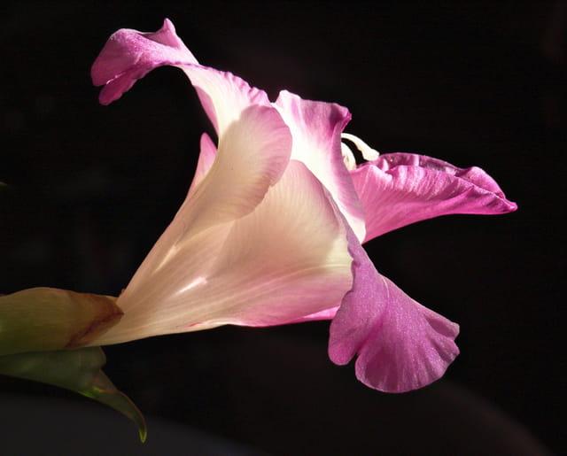 Fleur de Glaieul