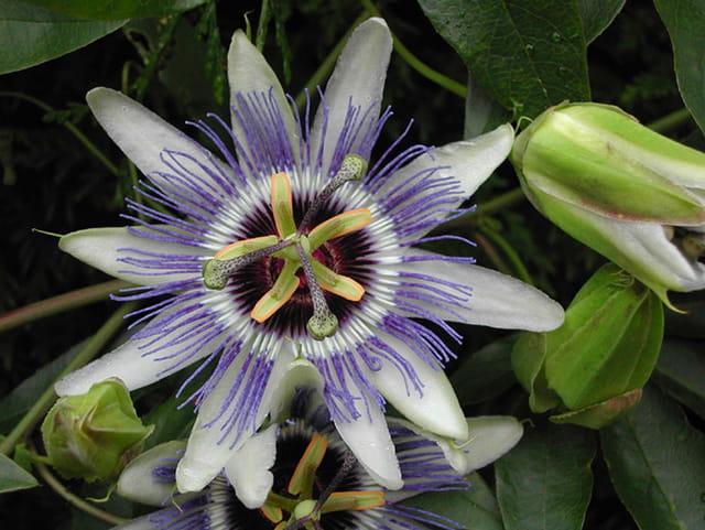 Fleur de la passion