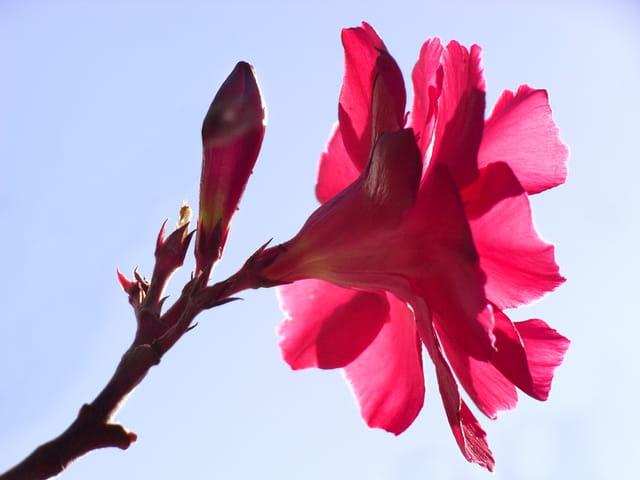 Fleur de laurier rose à contre-jour